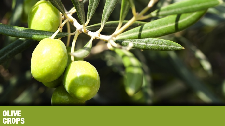 PEST MANAGEMENT : olive crops